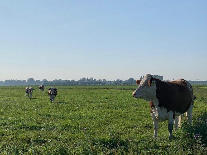 Op Hodenpijl Schipluiden koeien