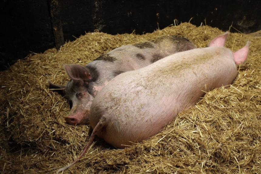 Varkens Levende Buitenplaats Op Hodenpijl Schipluiden