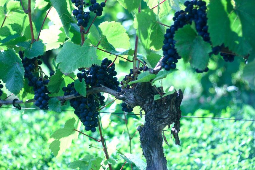 Hällåkra Vingård hallakra vingert wijn zweden biologische wijn