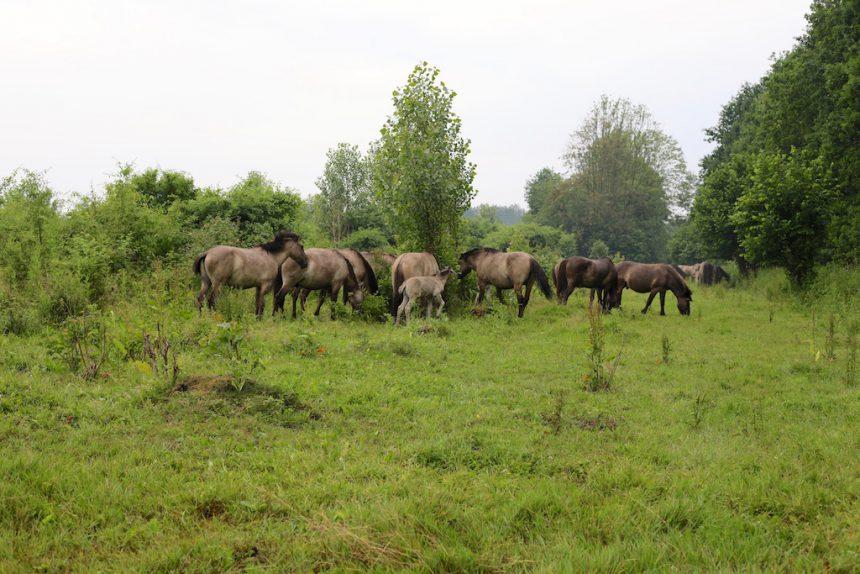 konikpaarden Horsterwold